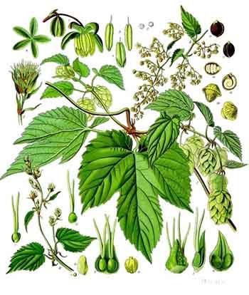ingredienti-della-birra-luppolo