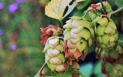 Luppolo selvatico nella birra – l'ingrediente dalle mille proprietà
